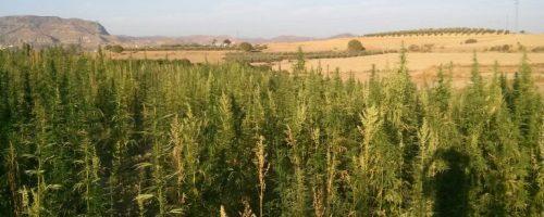 hemp farm cbd